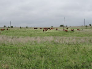 Multi-paddock grazing has been shown to be an effective conservation practice on grazing lands for enhancing water conservation and protecting water quality. (Texas A&M AgriLife photo by Kay Ledbetter)