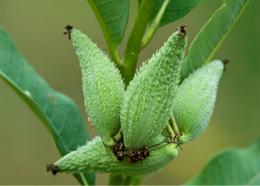 Milkweed seeds grow in pods, attached to wispy strands of ready-to-use fiber that insulates even when wet.