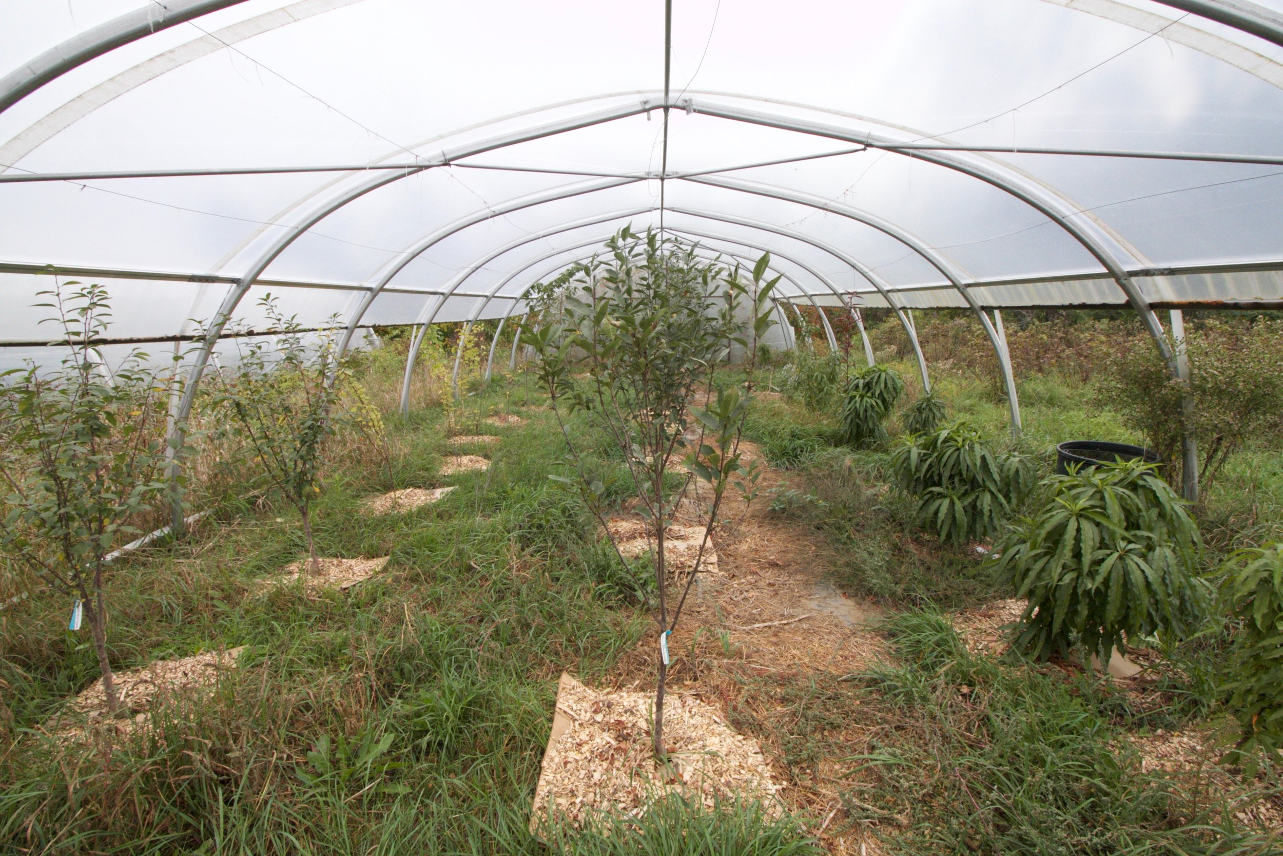 High tunnels extend the growing season of dwarf peaches, nectarines, and apples. The farm also grows raspberries in high tunnels, which can out-yield tomatoes as far as profit goes.