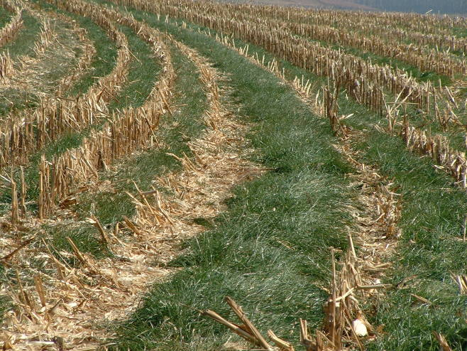 Rye grass planted between rows of corn is one example of cover-cropping, a technique that keeps soil from eroding and replenishes its nutrients. | Wikimedia Commons