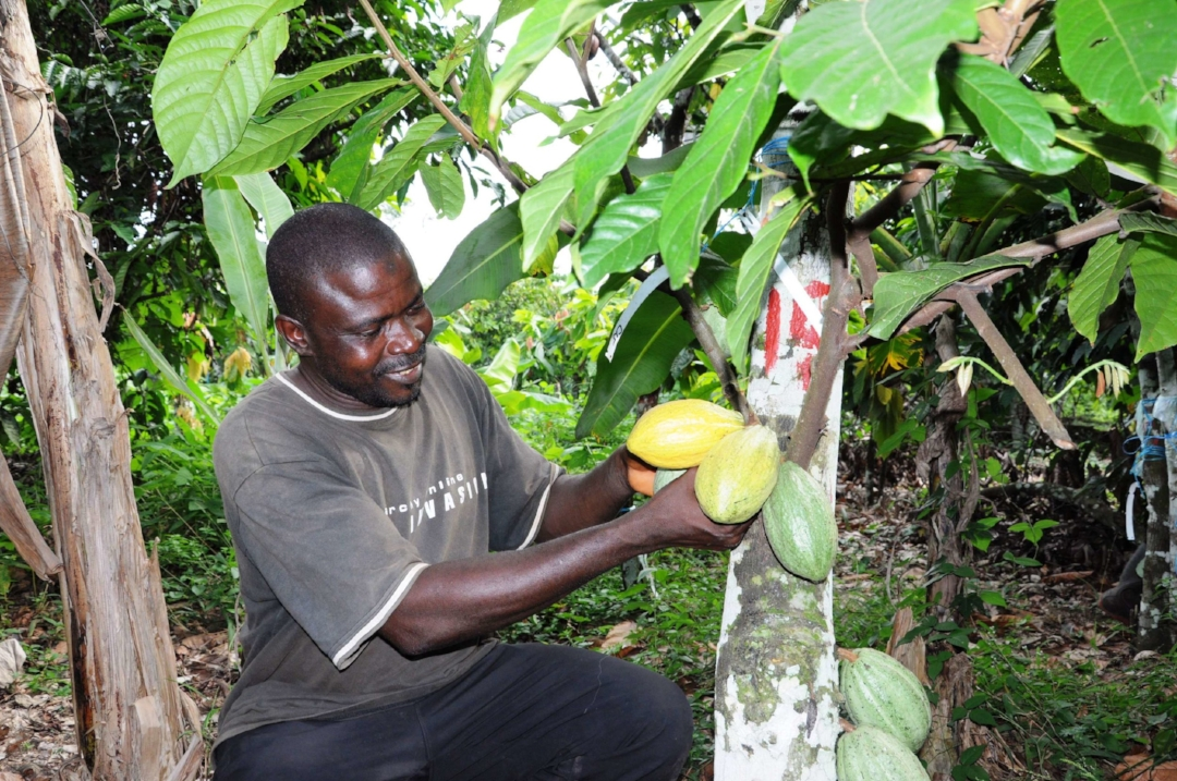 Since its launch in 2010, the Vision for Change project — a public-private partnership involving Mars Inc, the World Agroforestry Center, and national institutions — has been helping farmers to increase their yields and improve their incomes in Côte d'Ivoire. Photo by: Claude Adjehi / ICRAF / CC BY-NC-SA