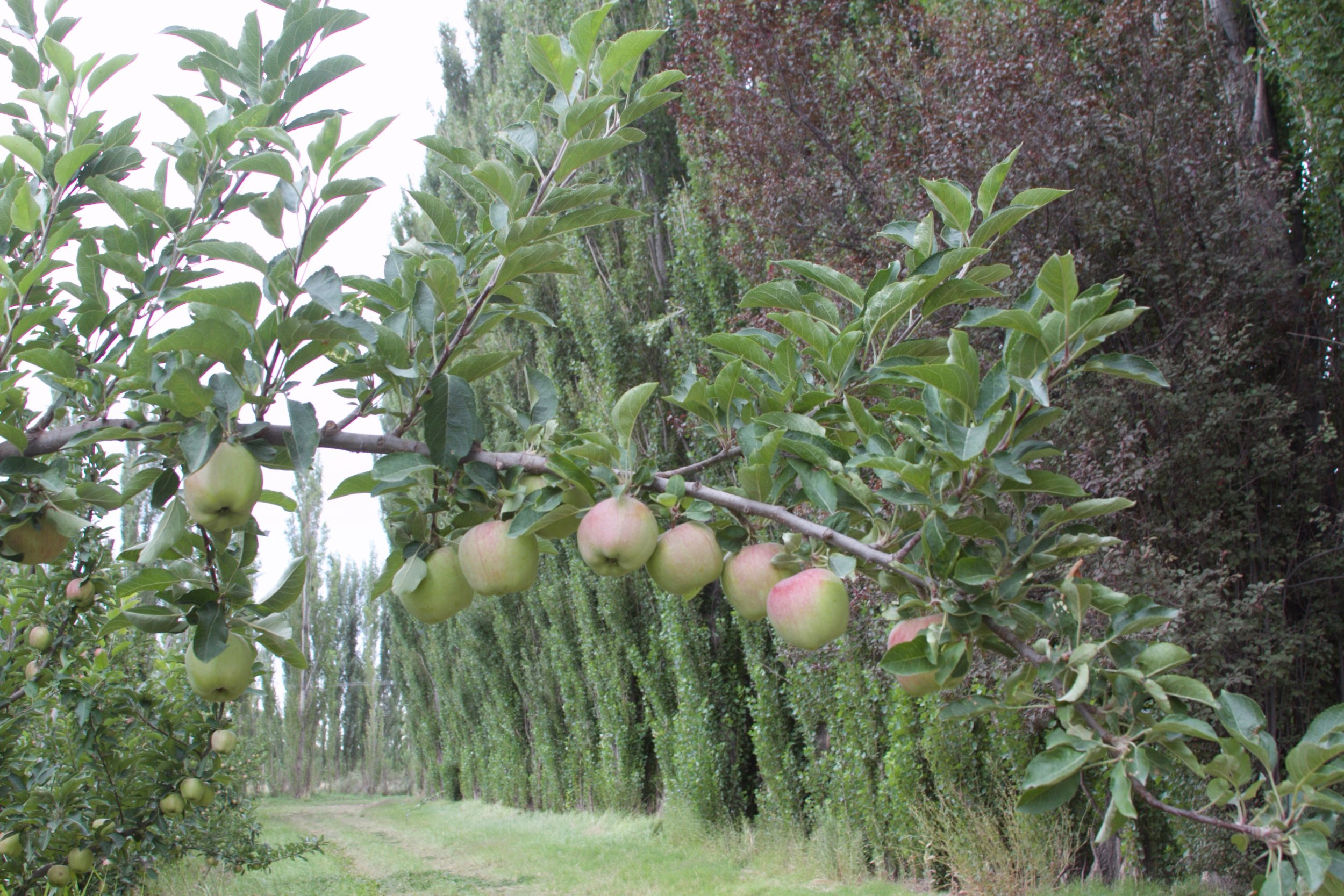 This organic apple orchard is in a grid windbreaks that tower over the fruit trees. The taller the windbreak, the more effective it is at slowing the wind.