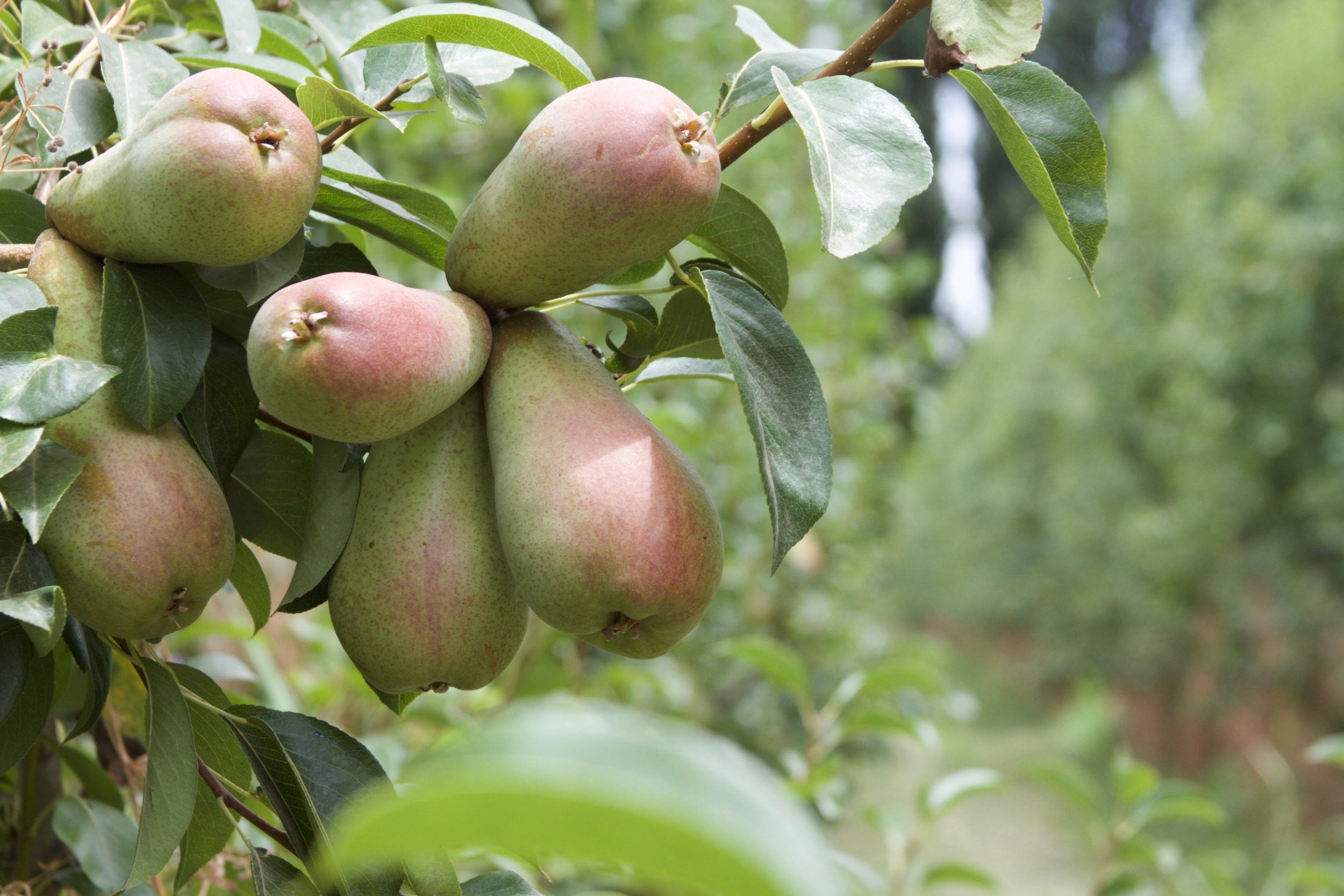 Organic fruit is emerging as a dignified livelihood for many farmers in Patagonia.