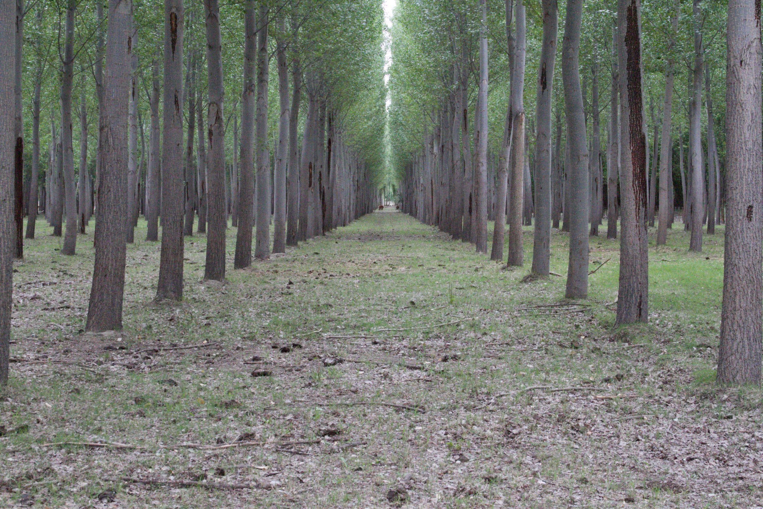 The Saralegui Farm grows poplar timber in addition to fruit. Timber is a low-maintenance, long-term investment, and Sandro manages cattle in the understory of this plantation. The soil is sandy, and the poplar roots are vigorous, which allows for infrequent herd moves.