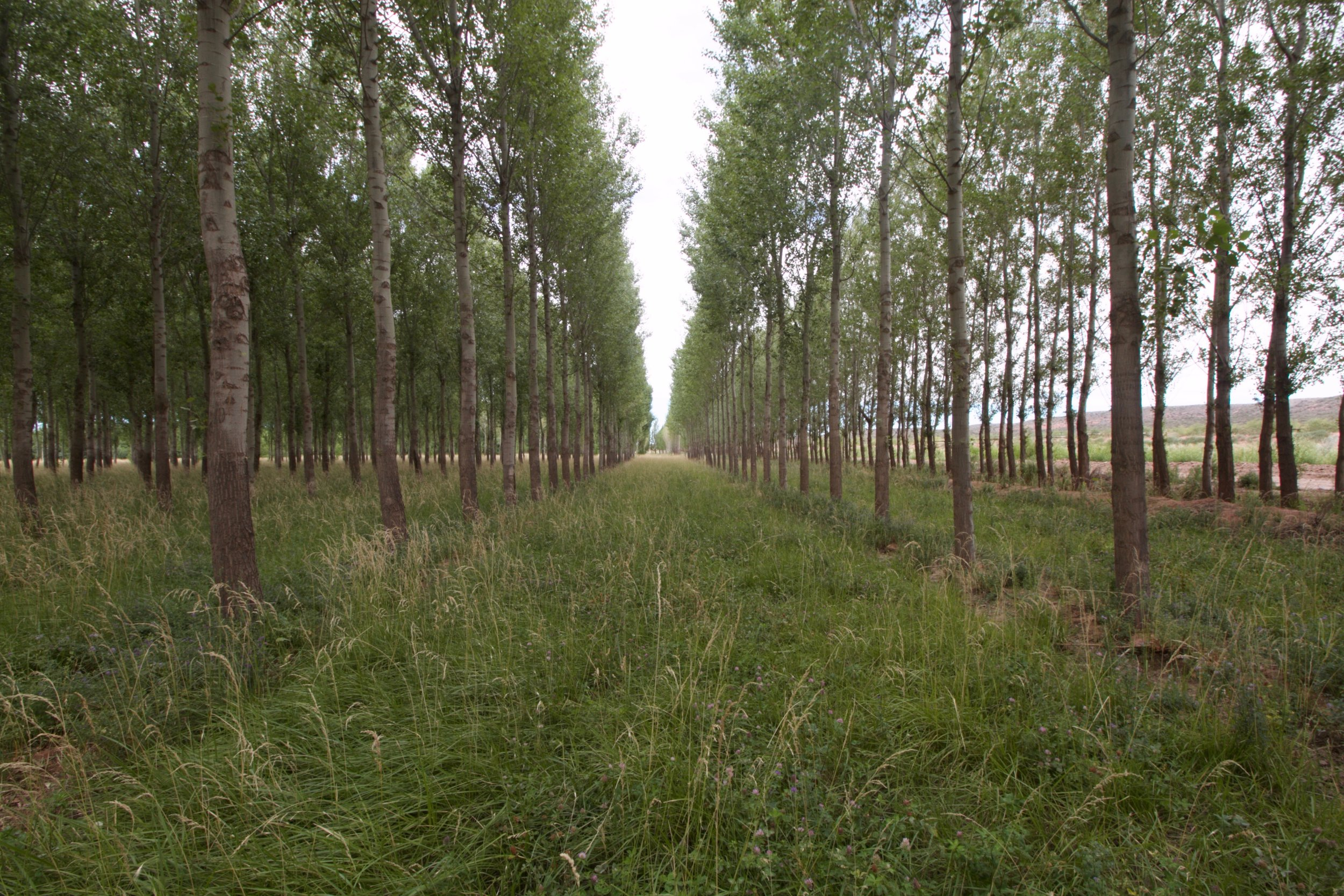 This silvopasture is a widely-spaced poplar plantation that is managed with cattle. It is planted at 8x3 meter (26x10 ft.) spacing: the amount of light that filters through the tree canopy is enough to keep the grass growing, while also providing sufficient shade for the cattle. This system doesn't just cultivate the ground: it takes full advantage of vertical space.
