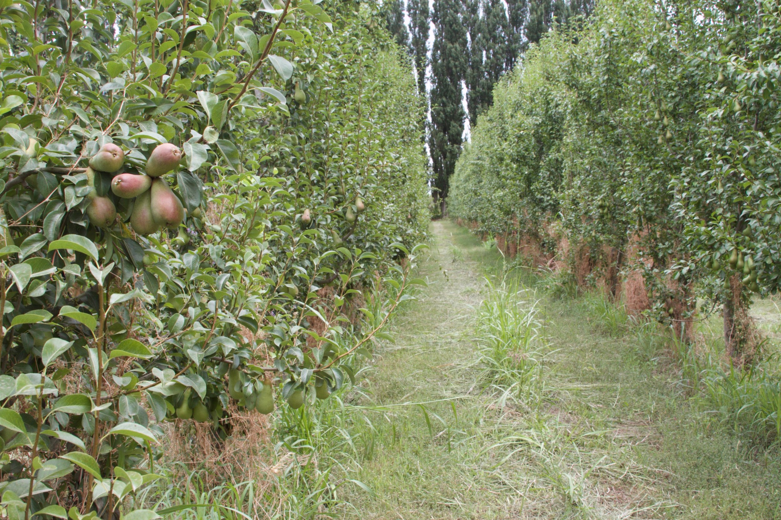 Poplar windbreaks shelter the Saralegui orchard. Orchards without windbreaks produce 19% less A-grade fruit.
