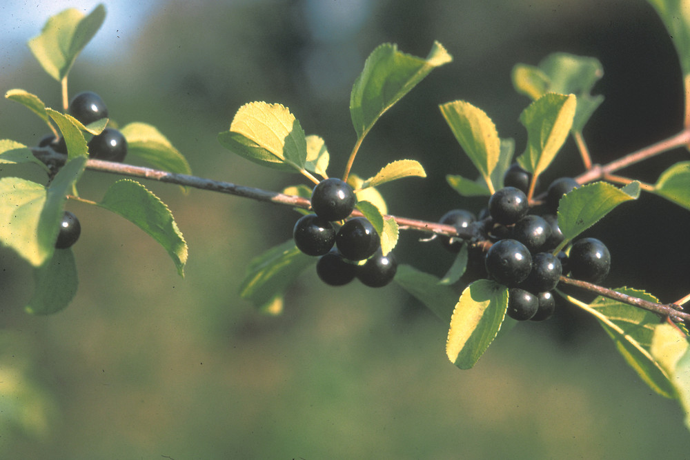 Buckthorn fruit is naturally dispersed by birds.