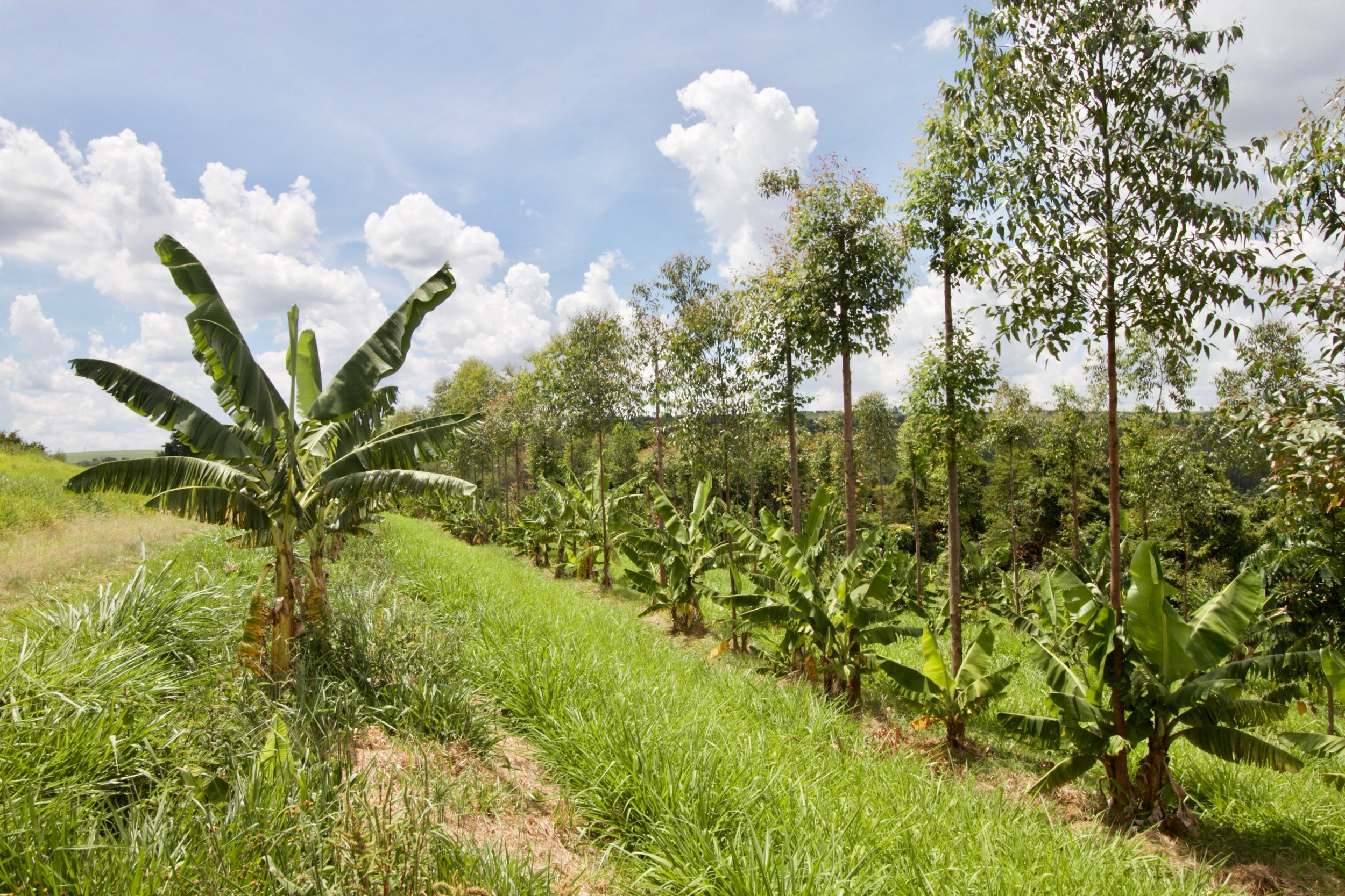 Rows of dry-farmed bananas and eucalyptus line the contours of Fazenda da Toca.