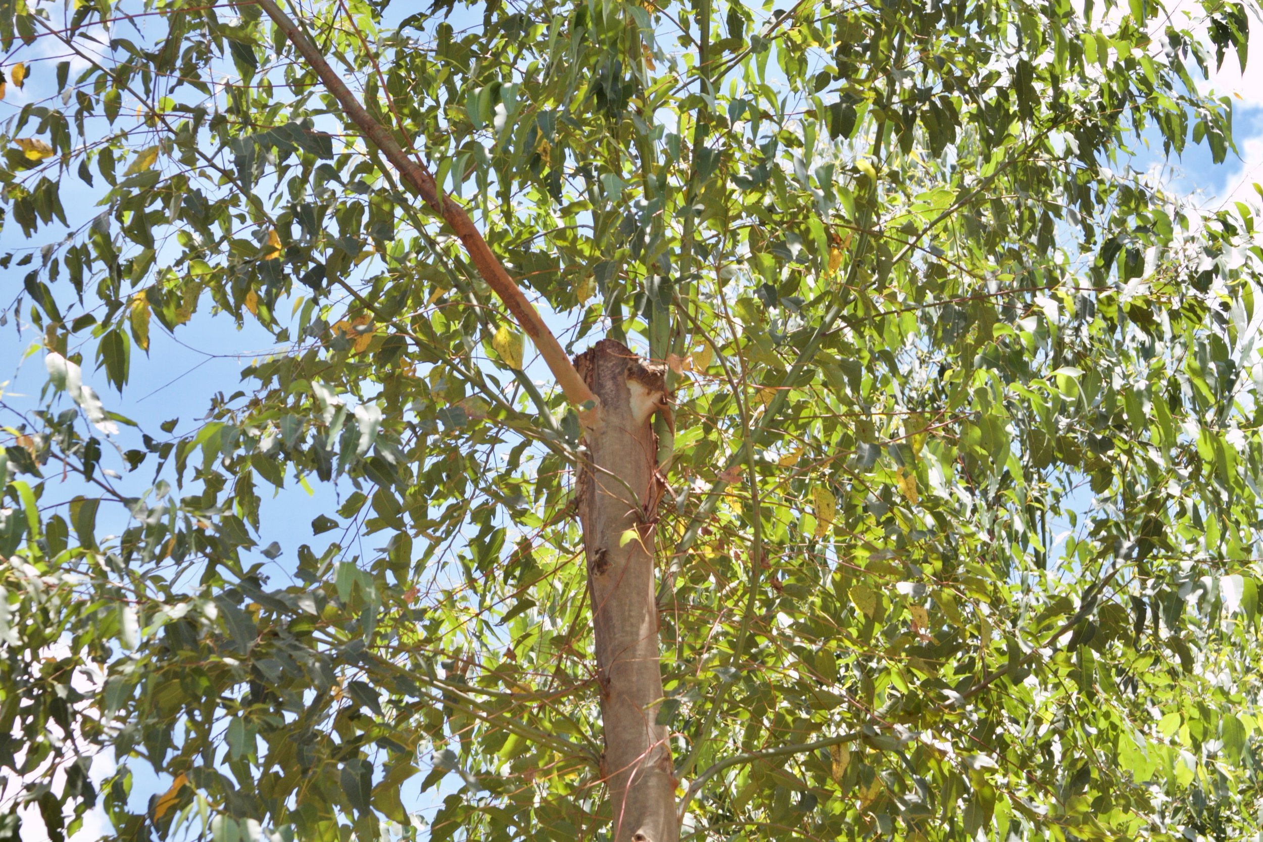 This eucalyptus tree is pruned to 30 feet in height. This style of management may create an ideal canopy, but it also creates management challenges. Canopy management can likely be done from waist height.