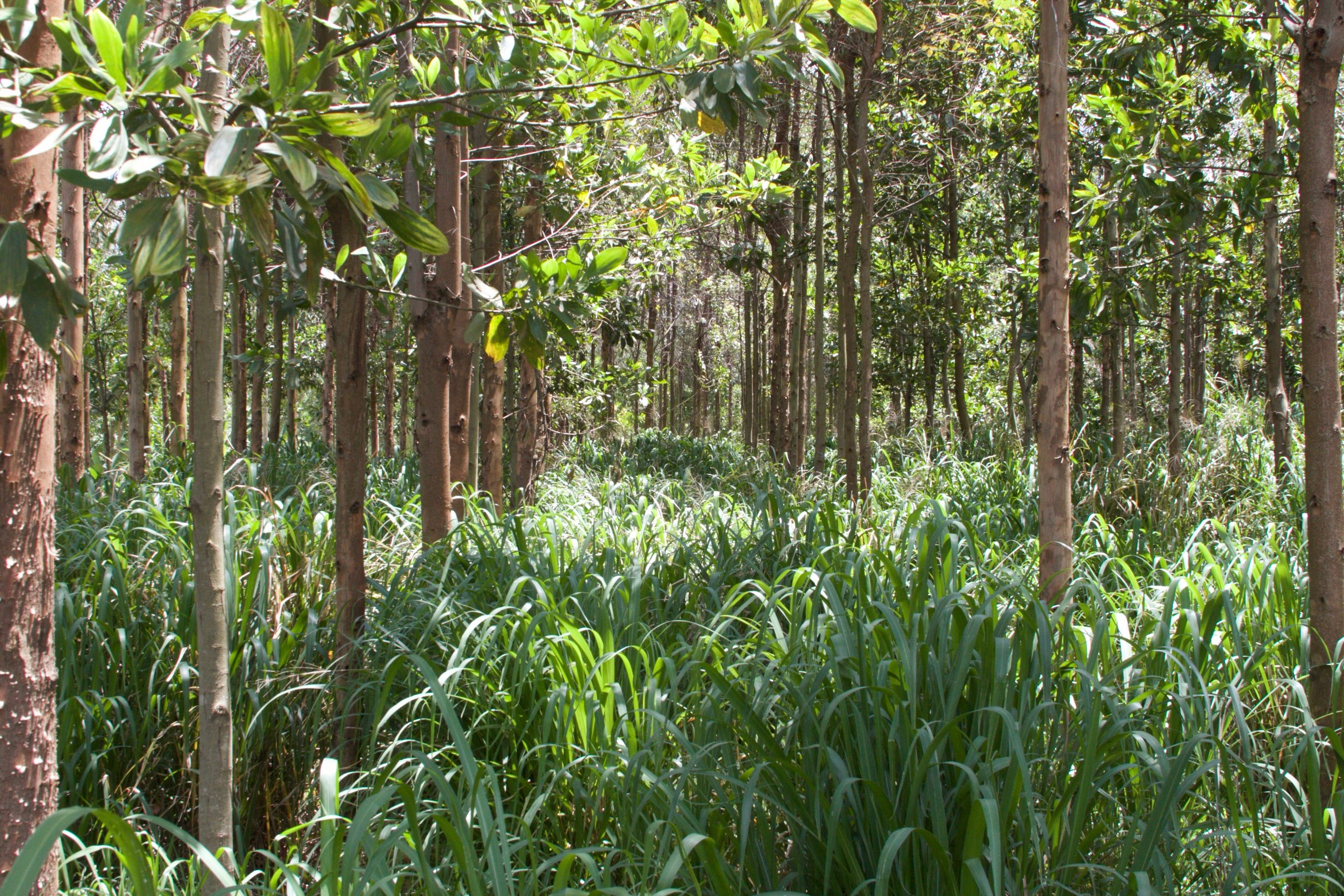 This is the understory of the eucalyptus plantation pictured in the satellite image above. In relatively deep shade, grass growth is still substantial. This undoubtedly speaks to the viability of silvopasture in the tropics.