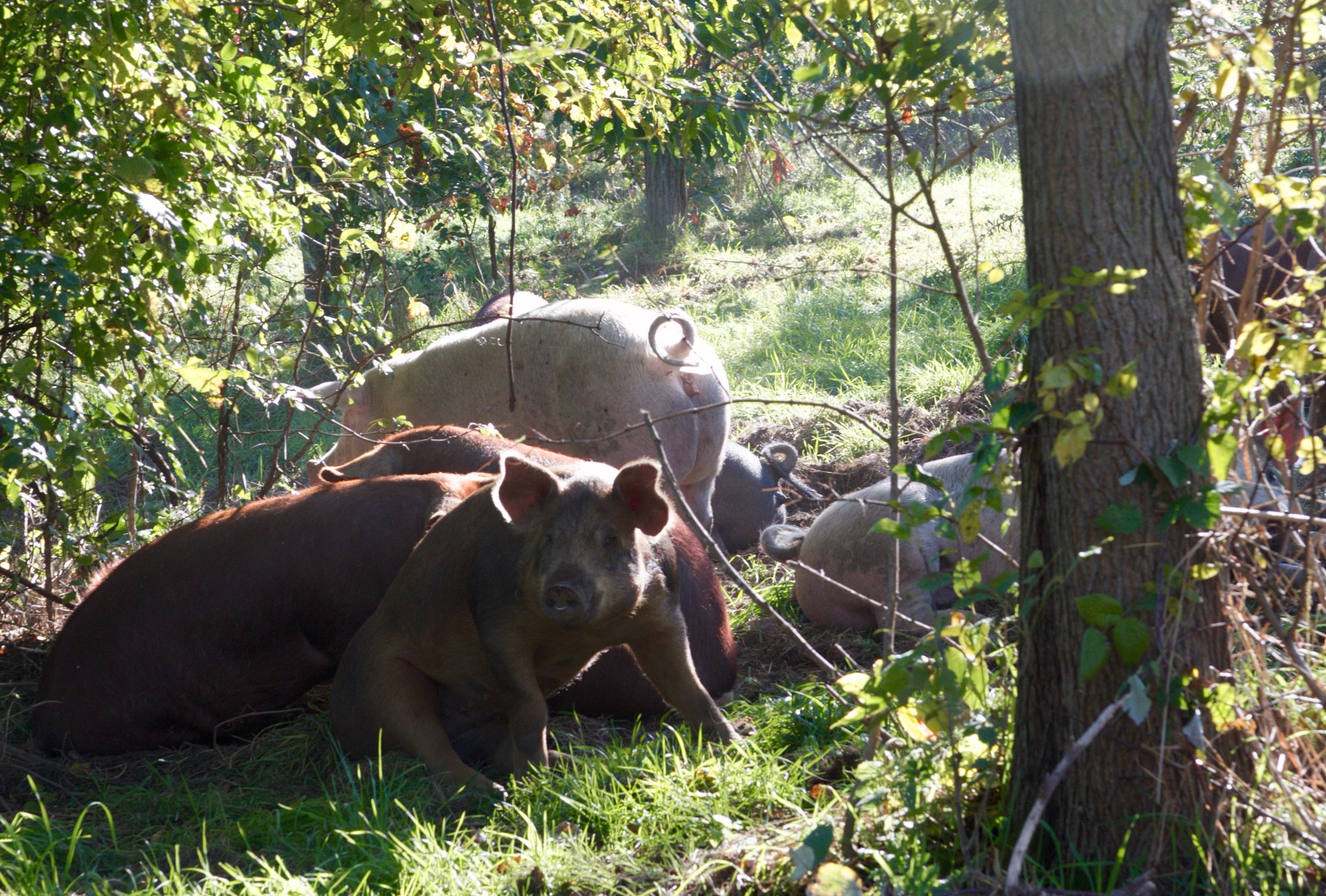 Pigs in the shade of a chestnut apple silvopasture. Photo taken by Propagate Ventures.