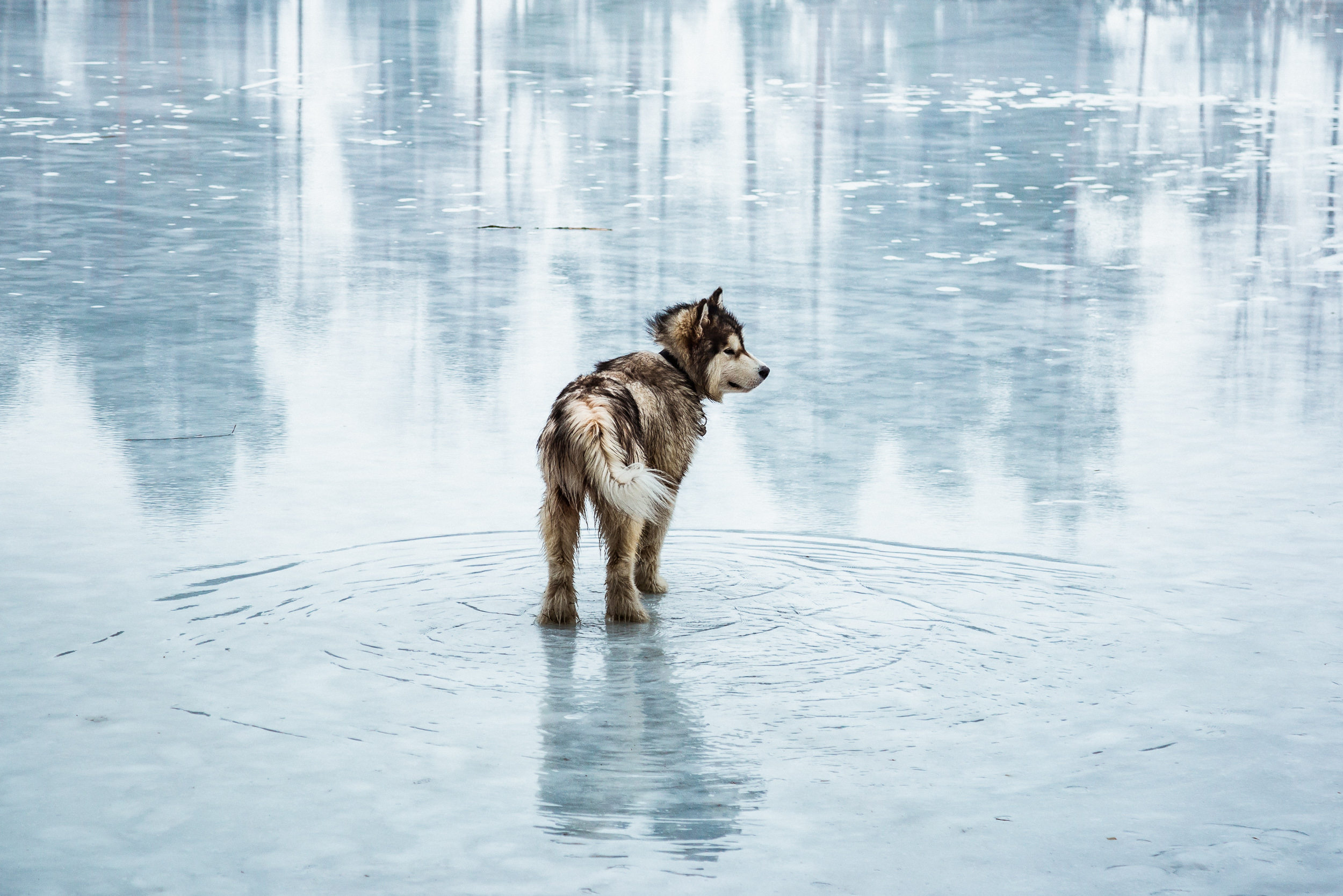 02-alaskan-malamute-dog-on-ice-anna-elina-lahti-photographer.jpg