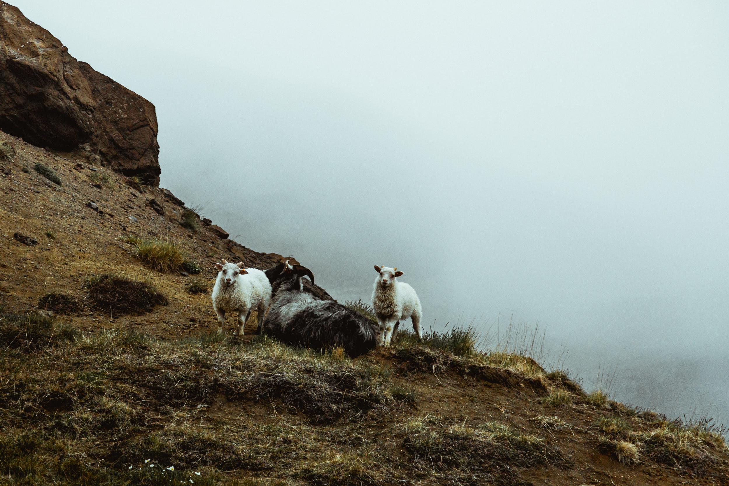 30-icelandic-sheep-fog-anna-elina-lahti-photographer.jpg