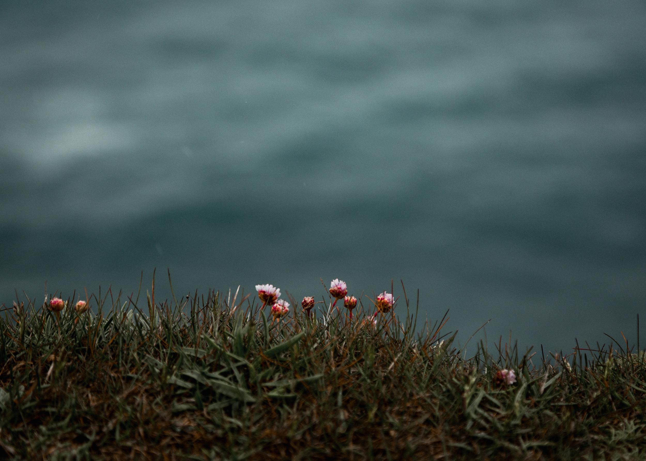 04-iceland-armeria-maritima-thrift-flower-anna-elina-lahti-photographer.jpg