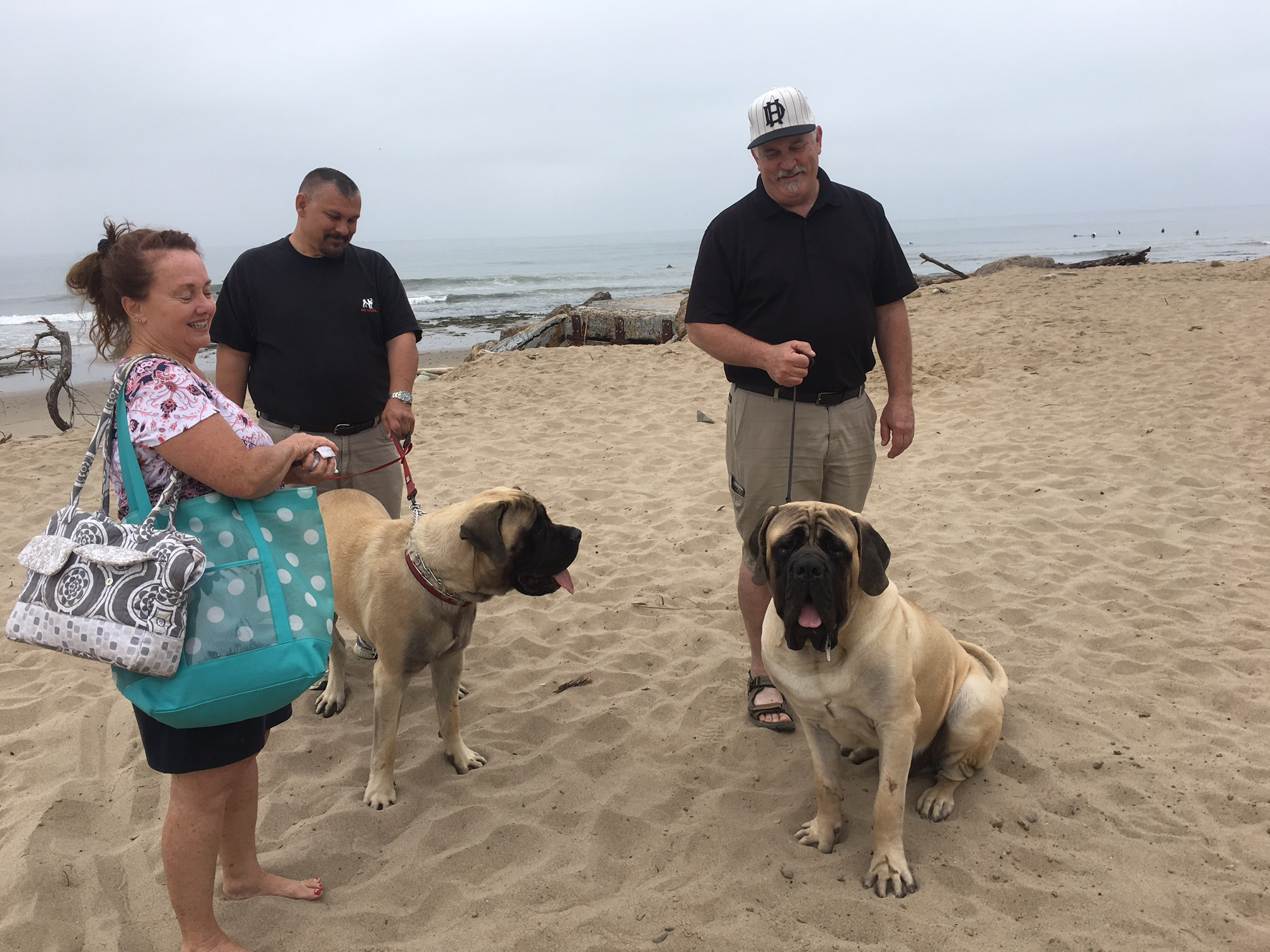 Enjoying a few minutes on the beach these mastiffs participated in the Seaside Spectacular All Breed dog Show hled at the VENTURa County Fair Grounds June 29 to july 2.
