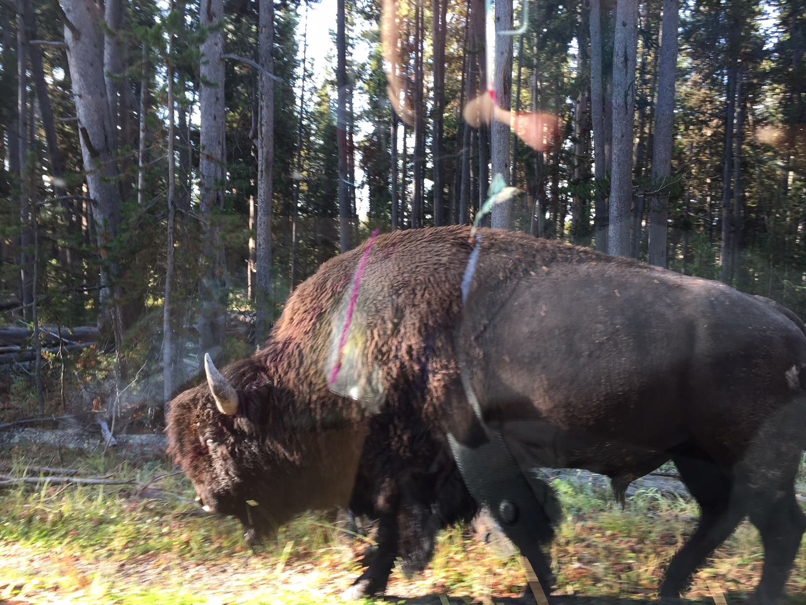 A Yellowstone trip is not complete without a buffalo picture. This bison had traffic stopped and it did not seem to bother him one bit as he sauntered along the side of the road past our car.