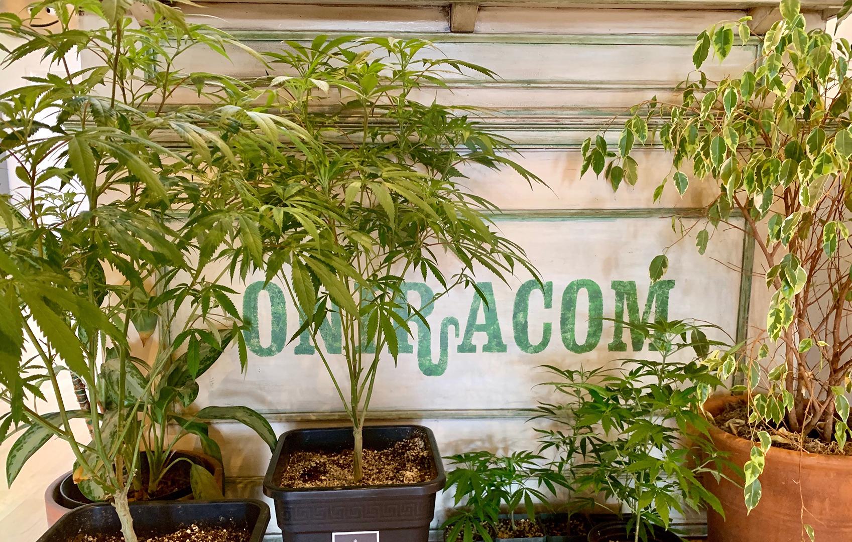 oni desk weed plants.jpg