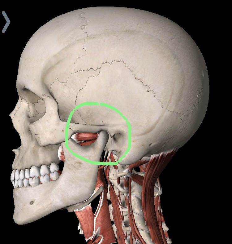 Images from  Essential Anatomy App.