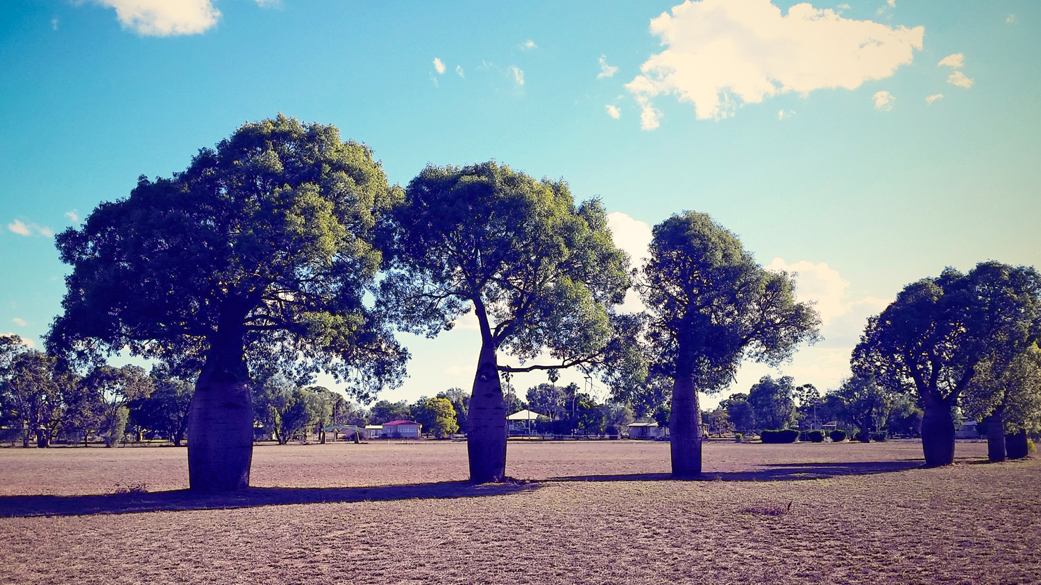 Boab Trees in Mitchell