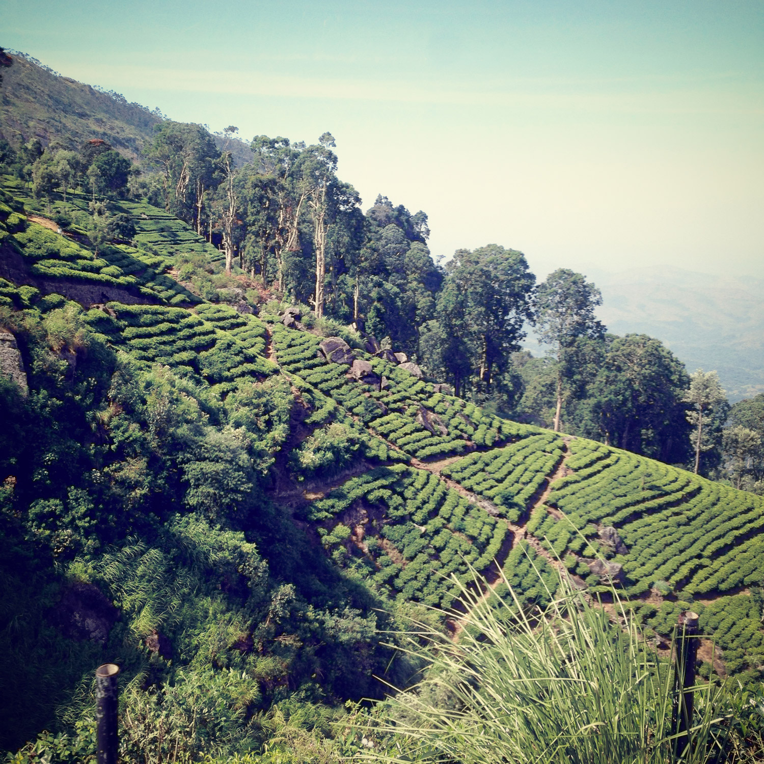 View of the tea plantations halfway up Liptons seat.