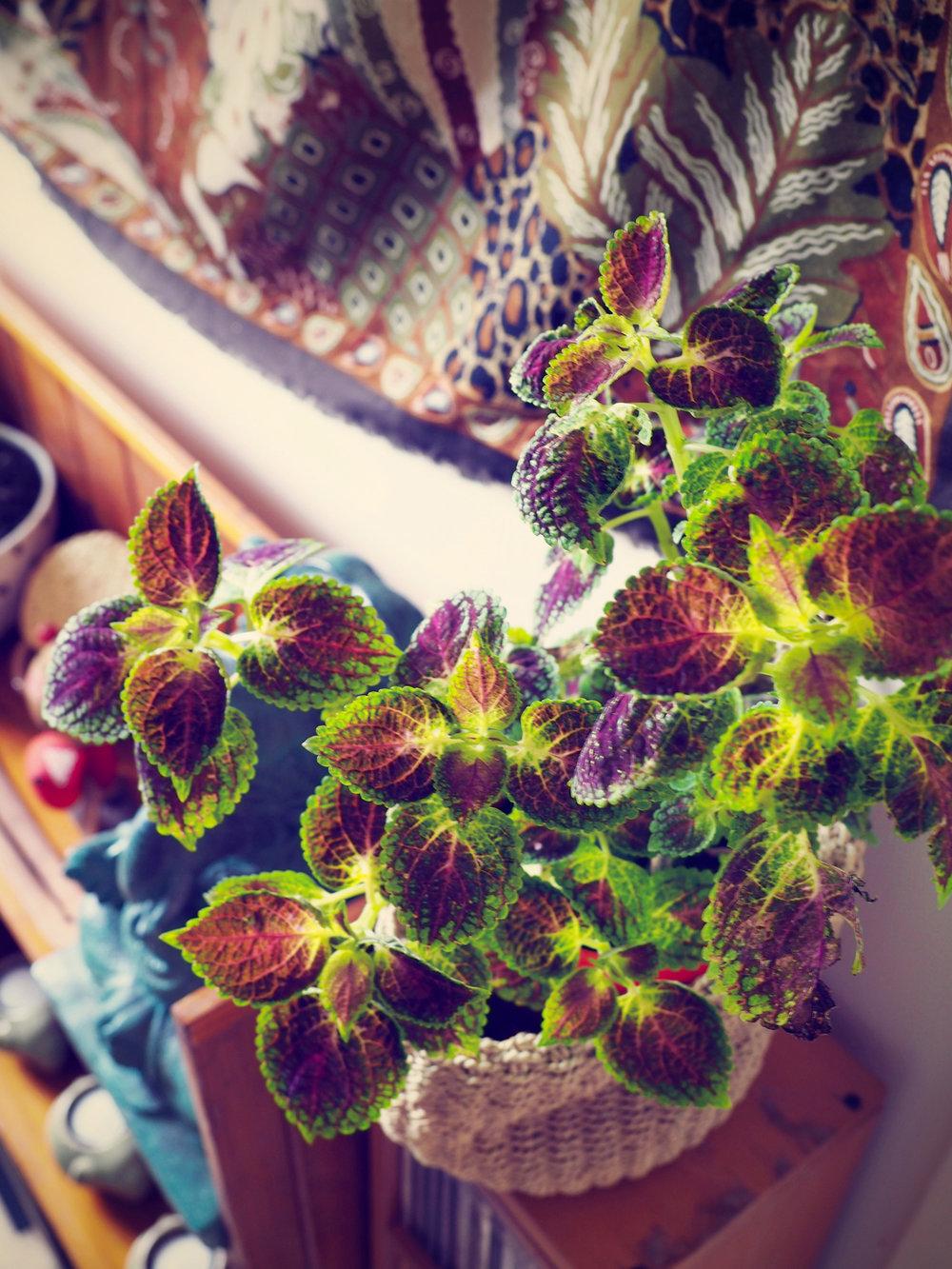 Beautiful Coleus Plant