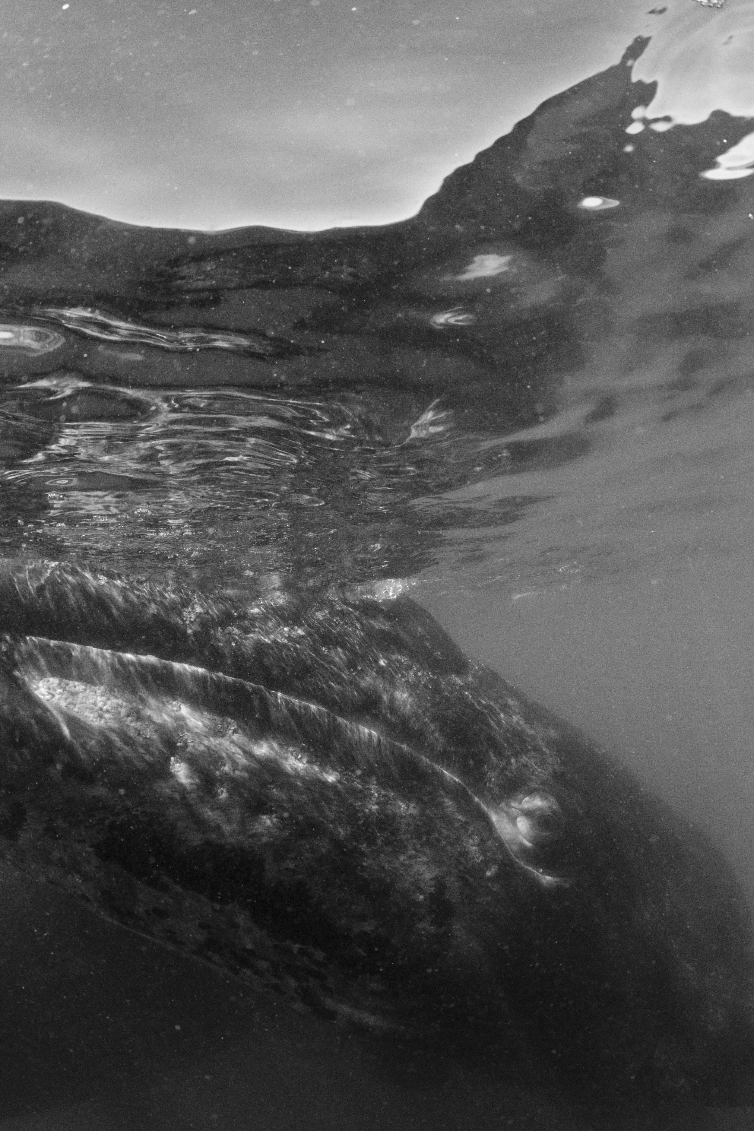 Baby grey whale. Baja, Mexico.