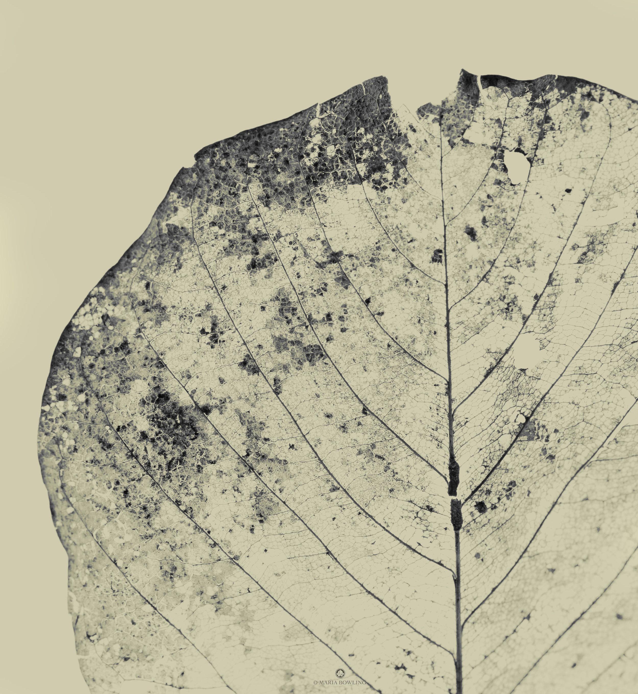 Bodi leaf.