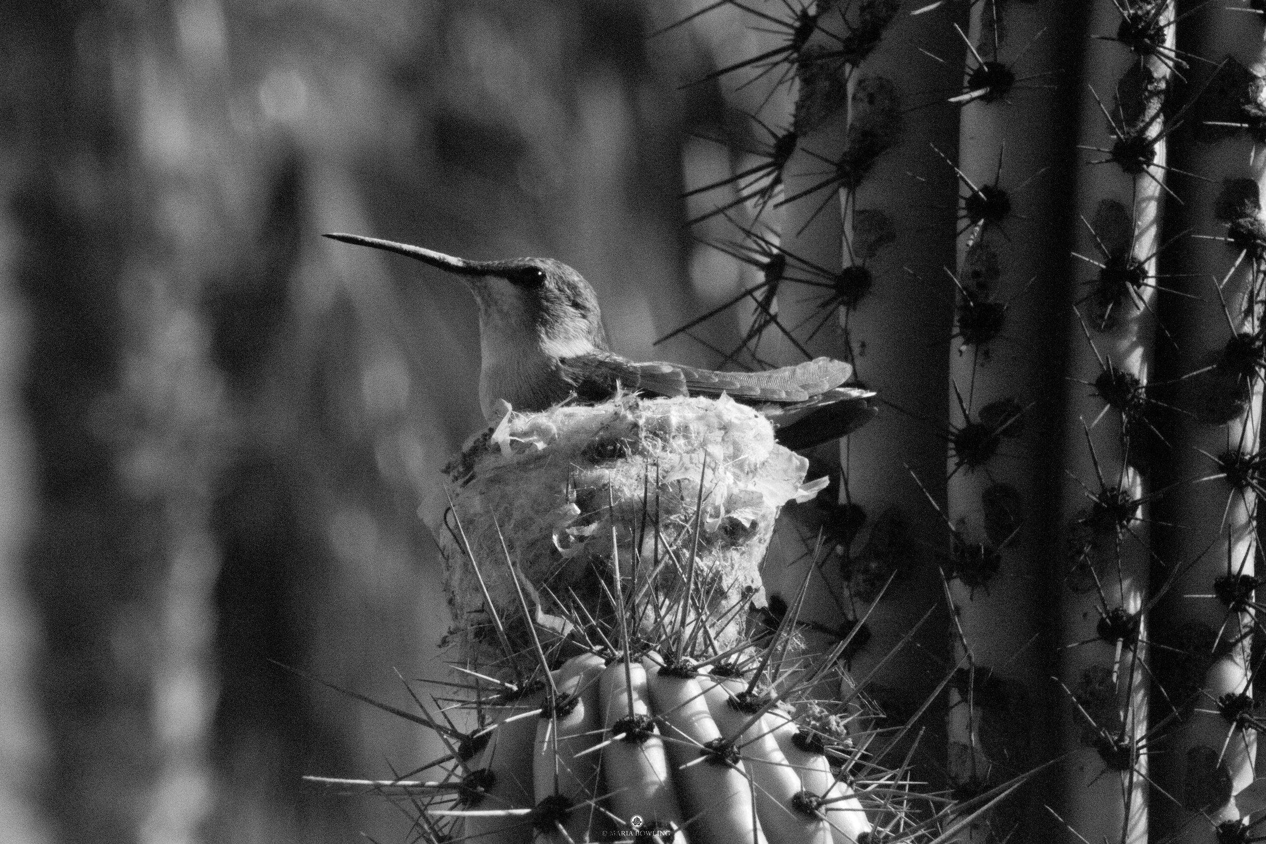Hummingbird. Baja, Mexico.