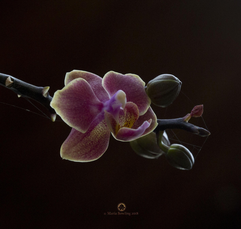 Orchids. Kona, Hawaii.