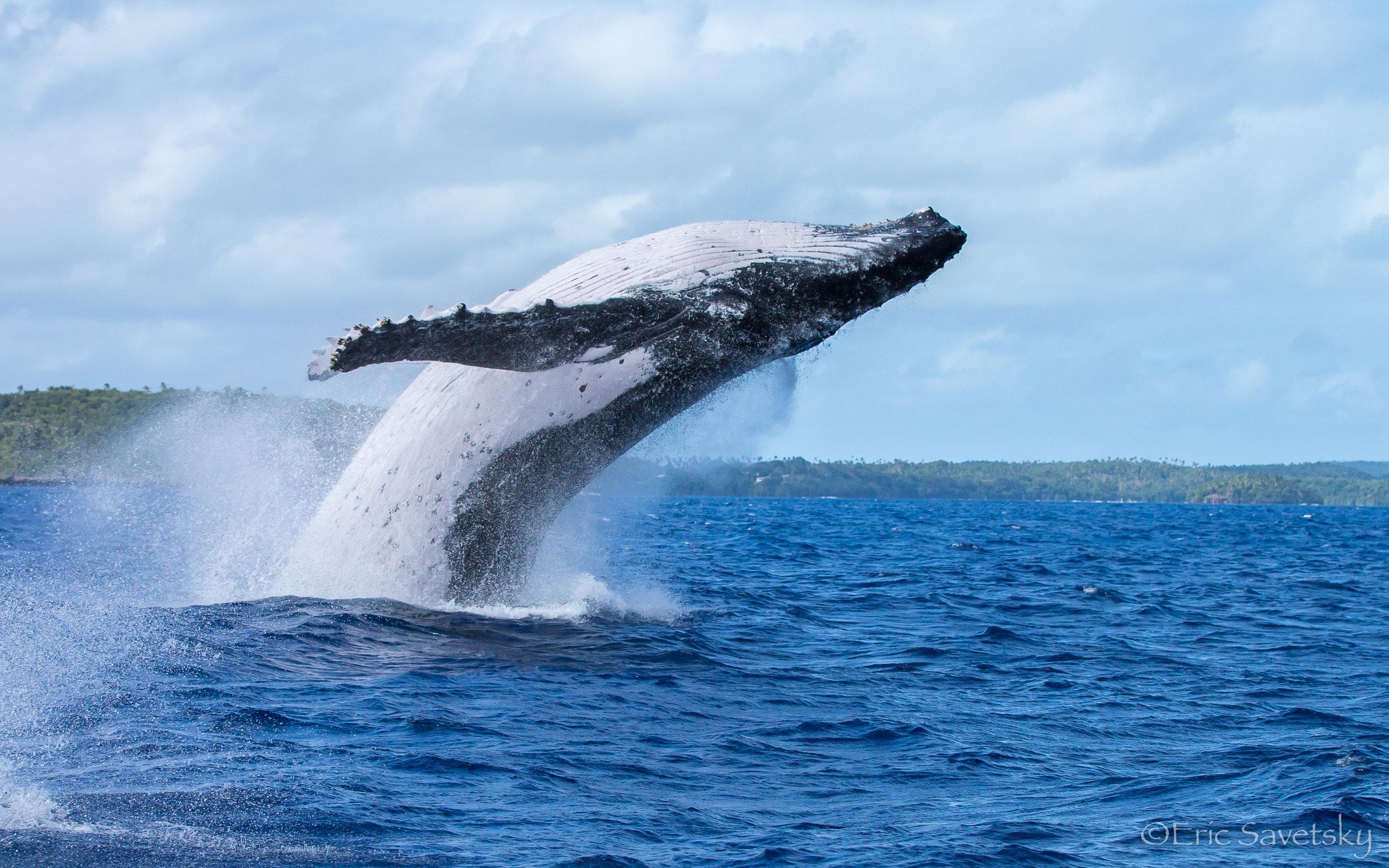 HB Whale breach-1.jpg