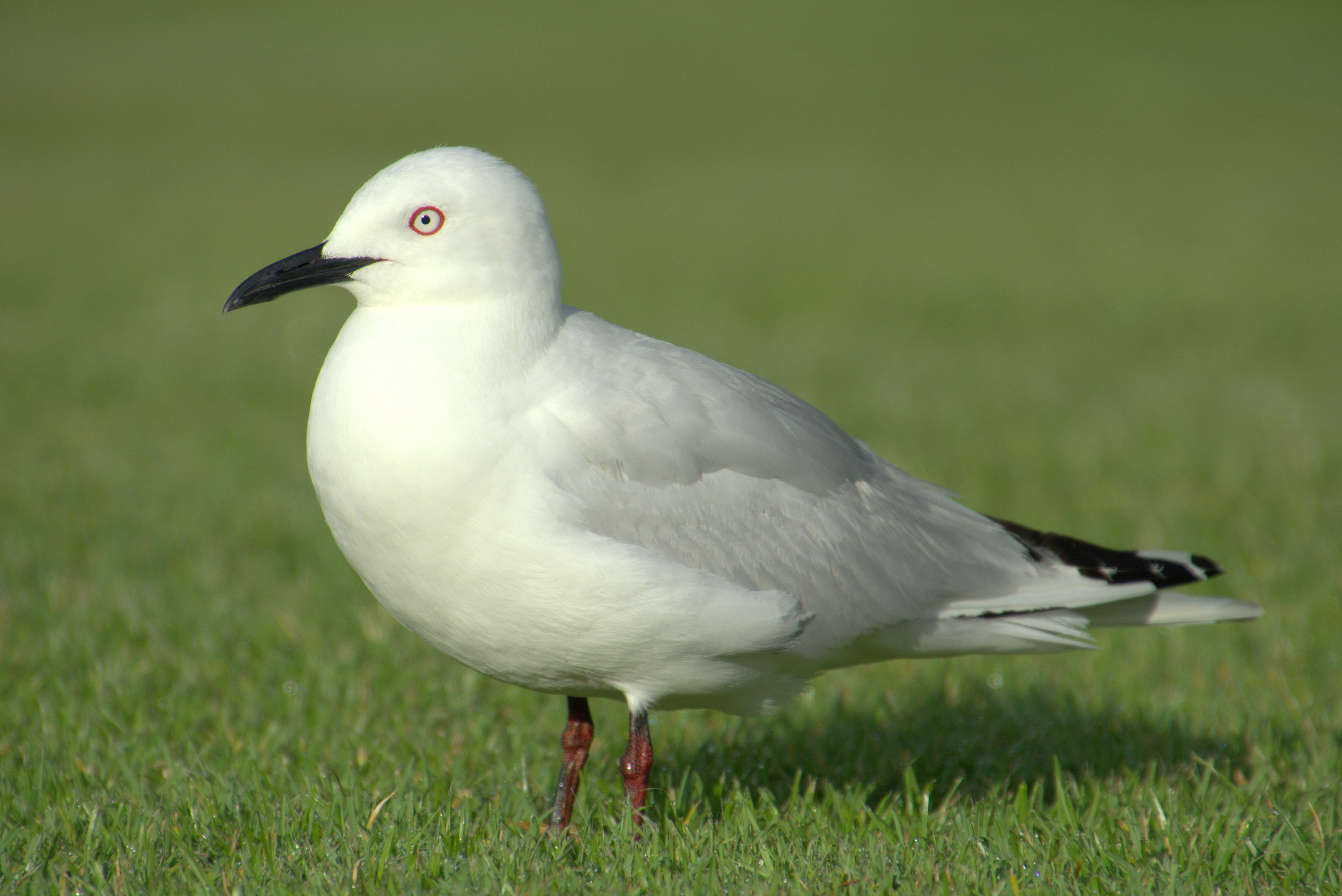 Black-billed Gull - Oscar Thomas