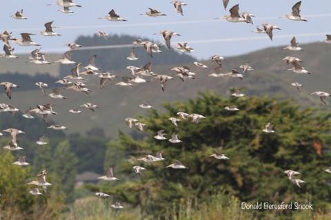 Wader flock in flight @ Miranda - Donald Beresford Snook