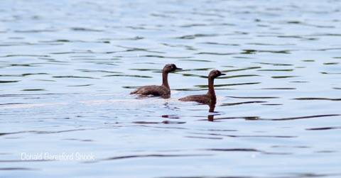 New Zealand Dabchick @ Mangere - Donald Beresford Snook