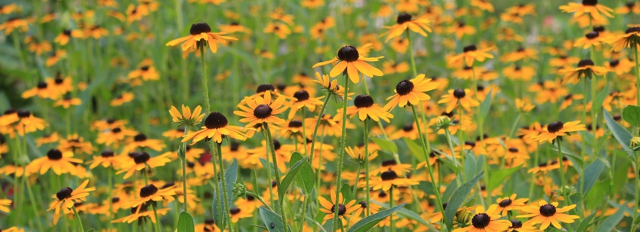 black eyed susan.jpg