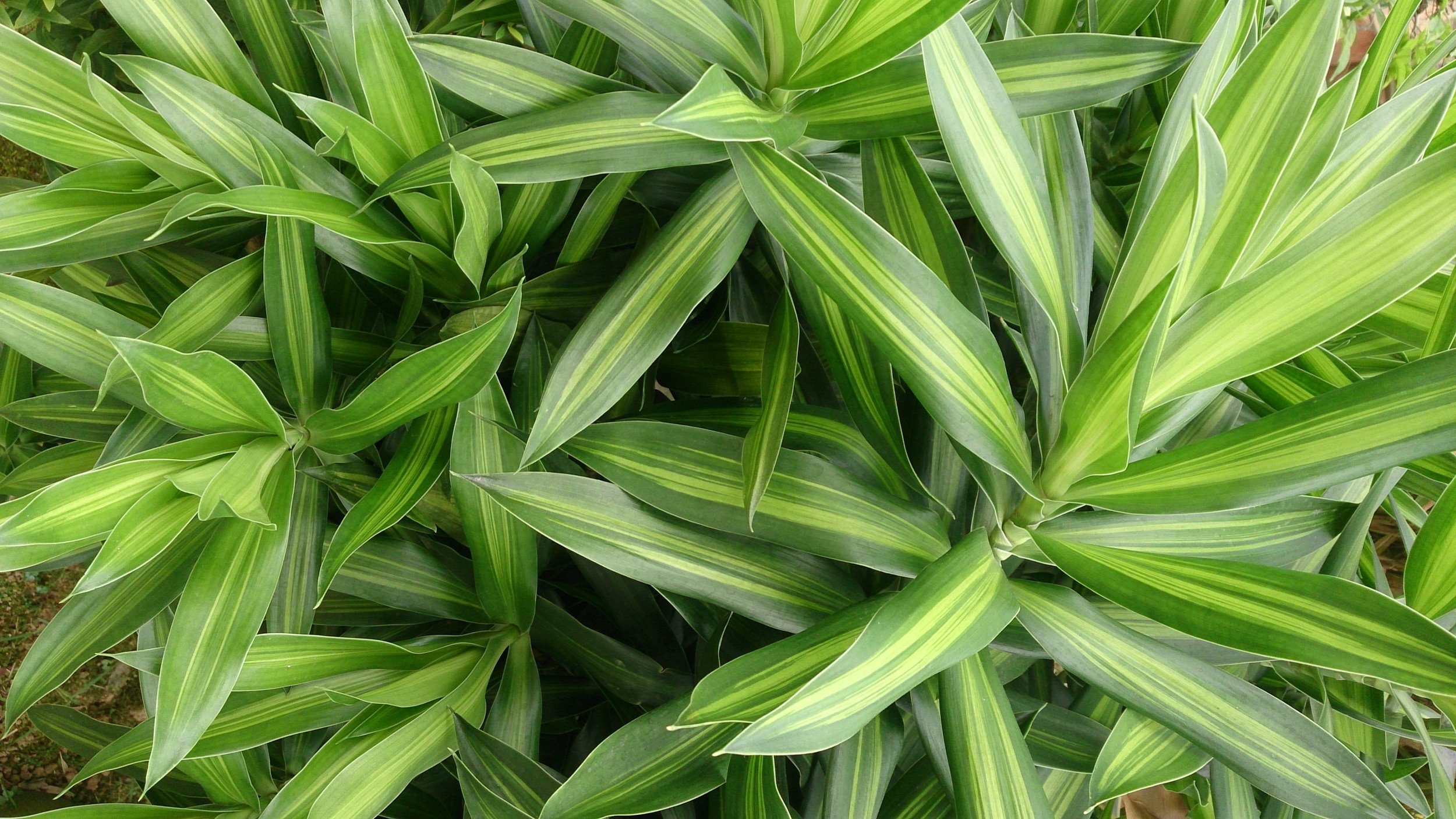 7. Dracaena - This beautiful houseplant has colorful yellow-and-green-striped leaves and a single upright stem. It is often called a 'corn plant' because it resembles a decorative corn stalk. Several can be planted together for a more full display. When it grows too tall, cut back the stem to one foot tall and new growth will form under the cut.Light: Medium to Bright Water: Allow surface to dry between waterings