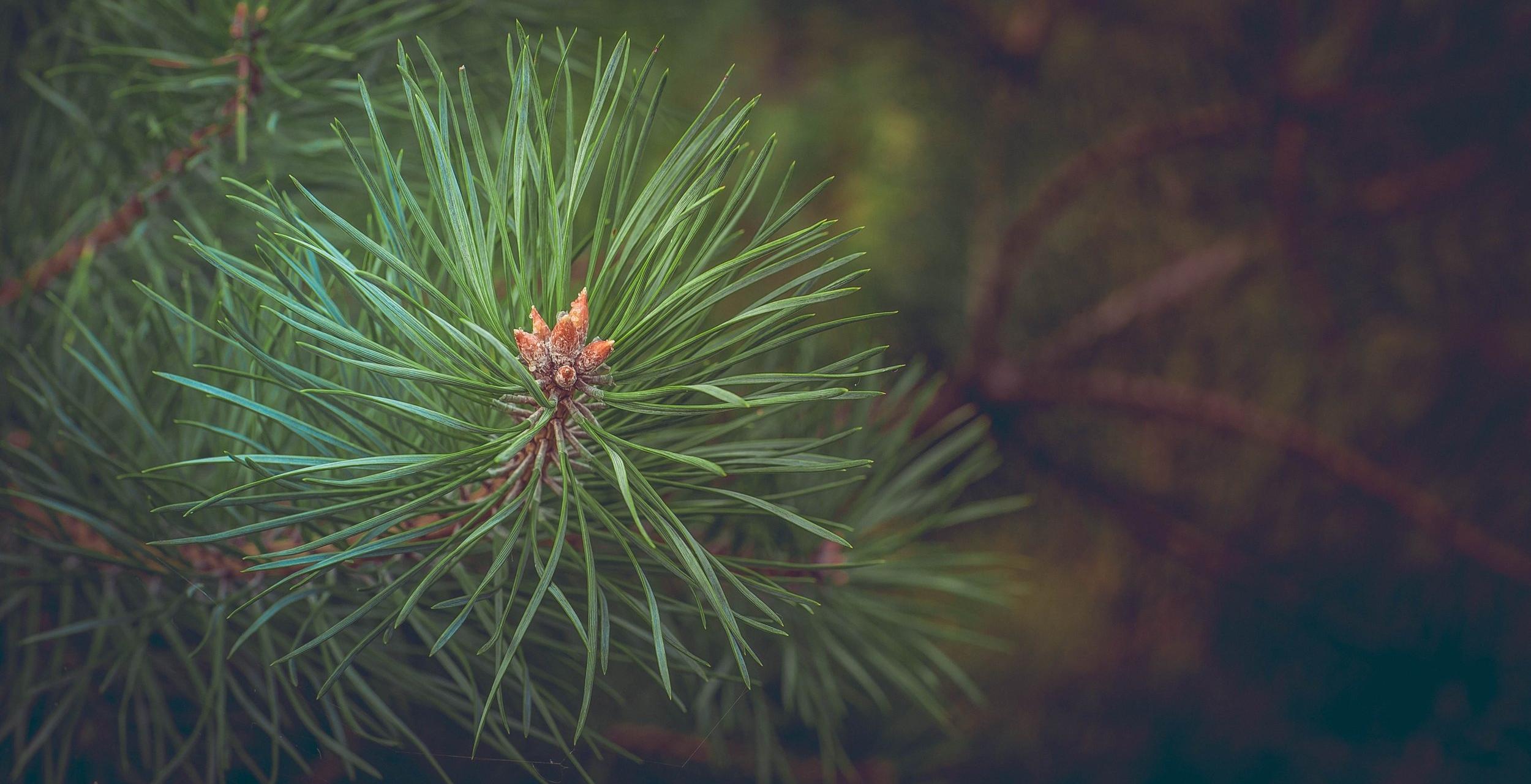 Pine Pixabay.jpg