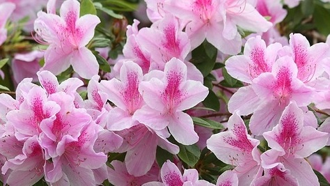 Growing Azaleas in the South -
