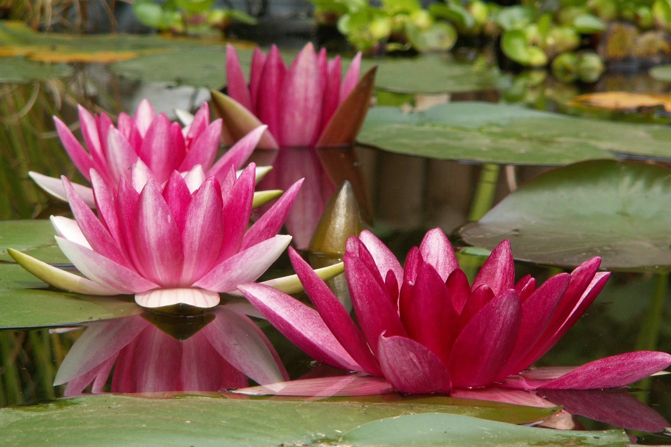 Growing Water Lilies - Water lilies (Nymphaea) are among some of the most beautiful blooming pond plants.