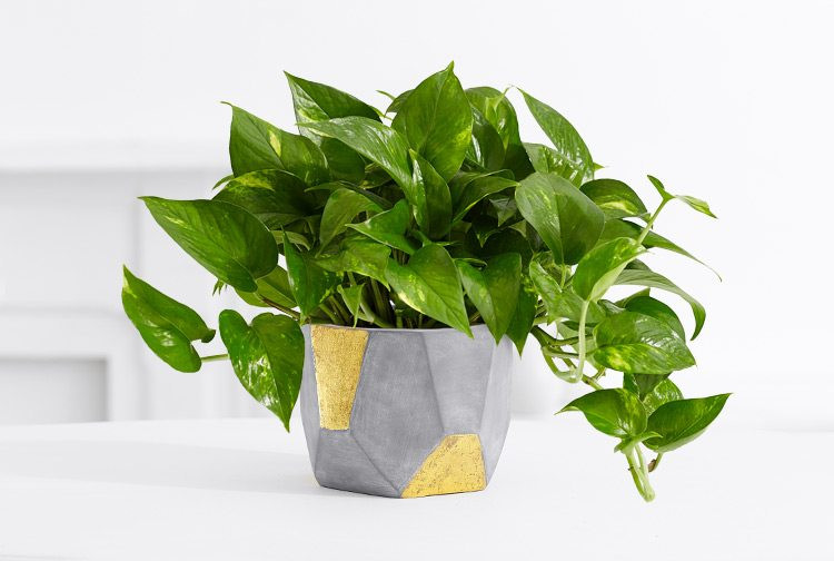 Houseplants that Improve Air Quality - Explore how houseplants can remove cancer-causing toxins such as formaldehyde and benzene from the air in your home.