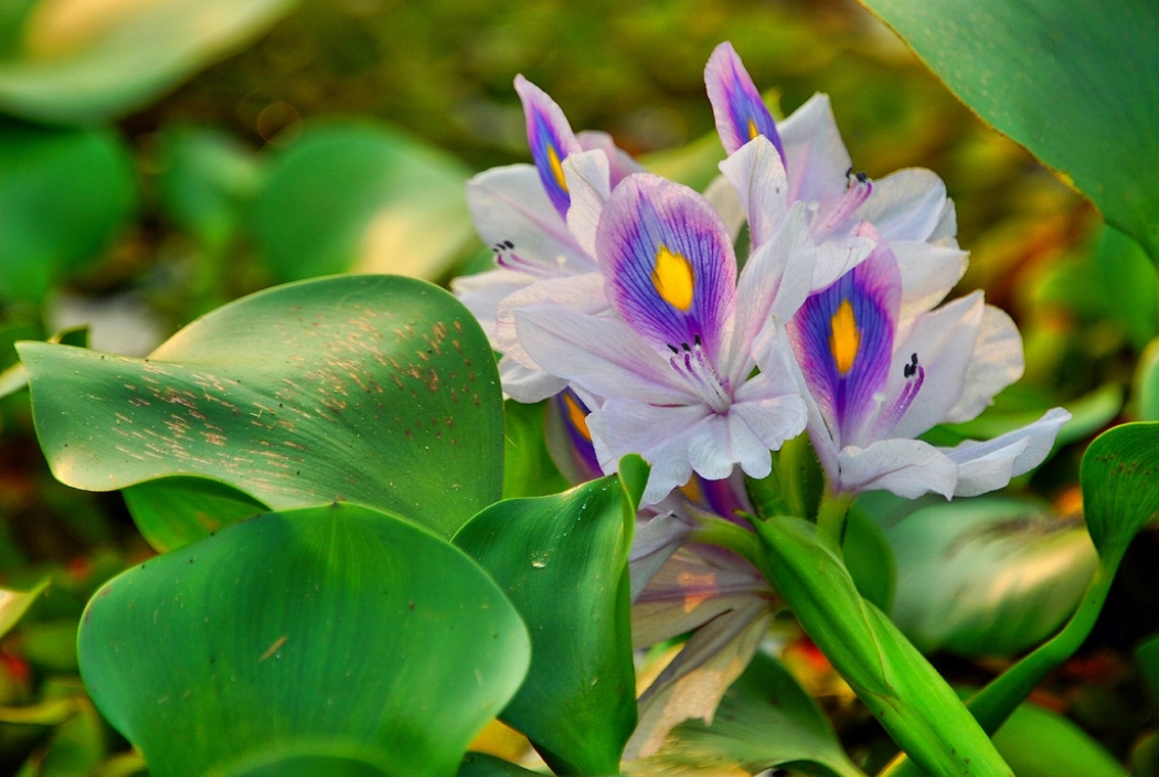 Types of Water Plants - While there are the beautiful blooming lilies everyone loves there are a variety of other types of plants that should be incorporated into your pond.