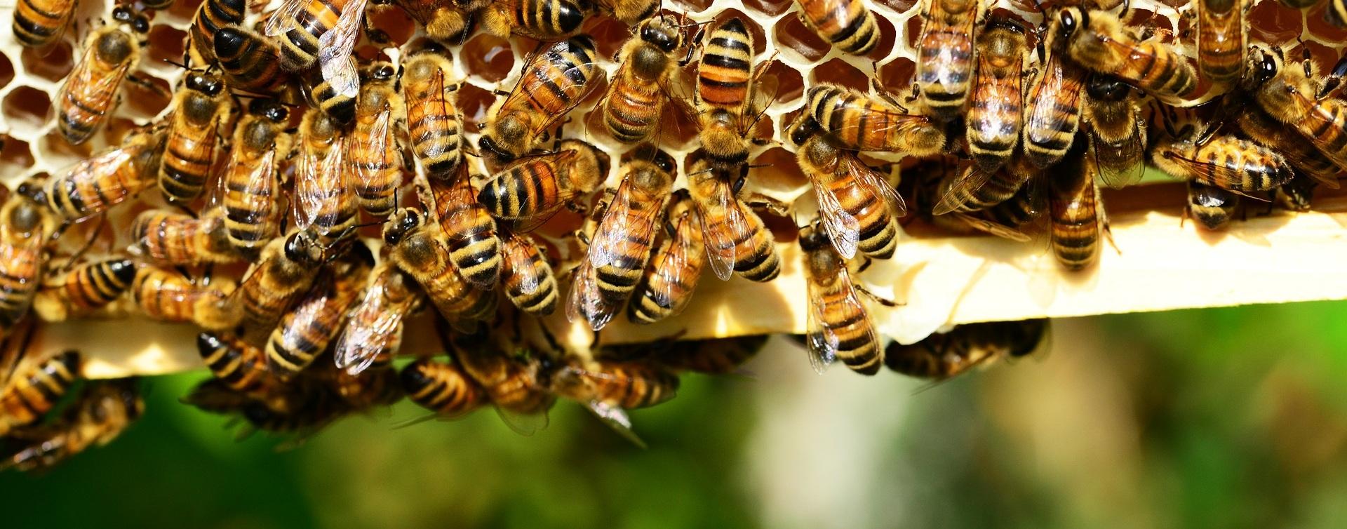 honey-bees-401238_1920.jpg