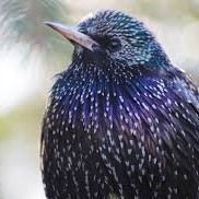 common starling.jpg