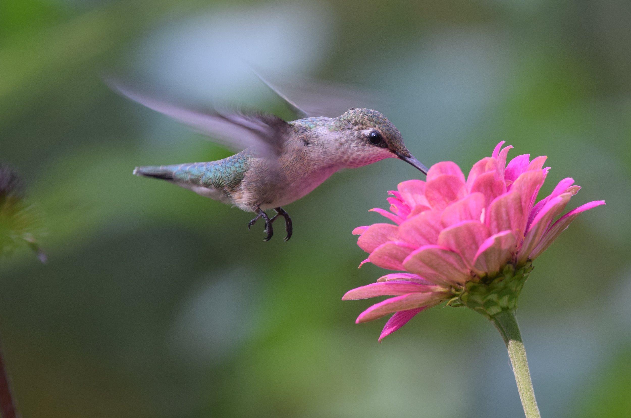 ruby throated hummingbird zinnia flikr.jpg