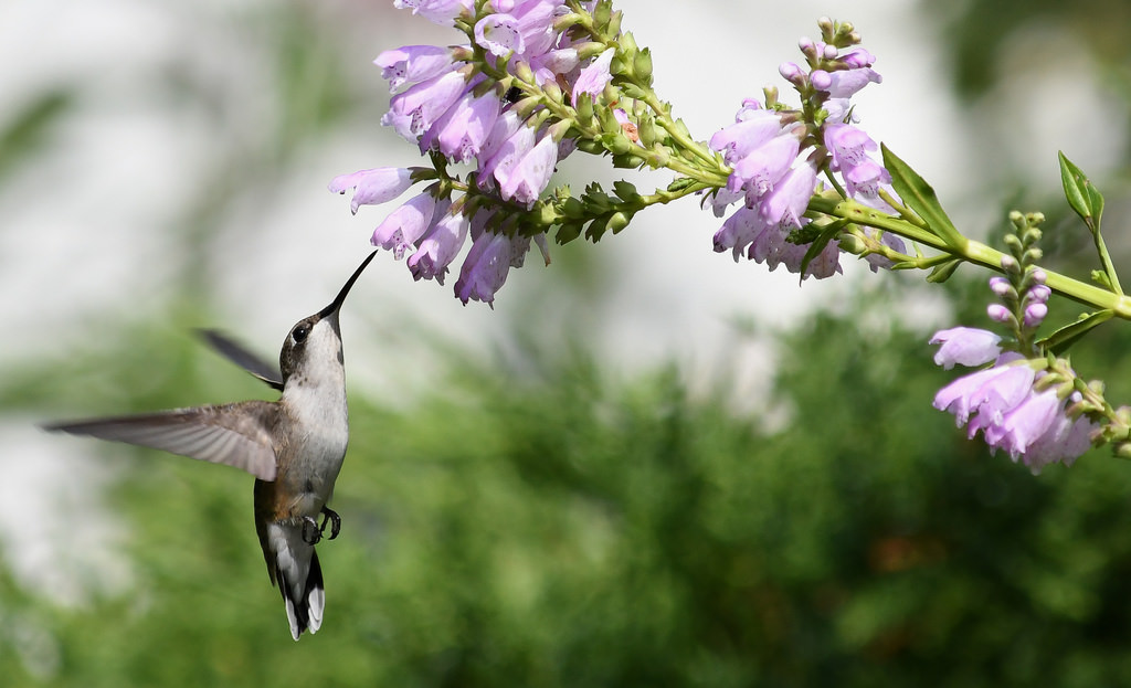 Hummingbird on Obedient Plant