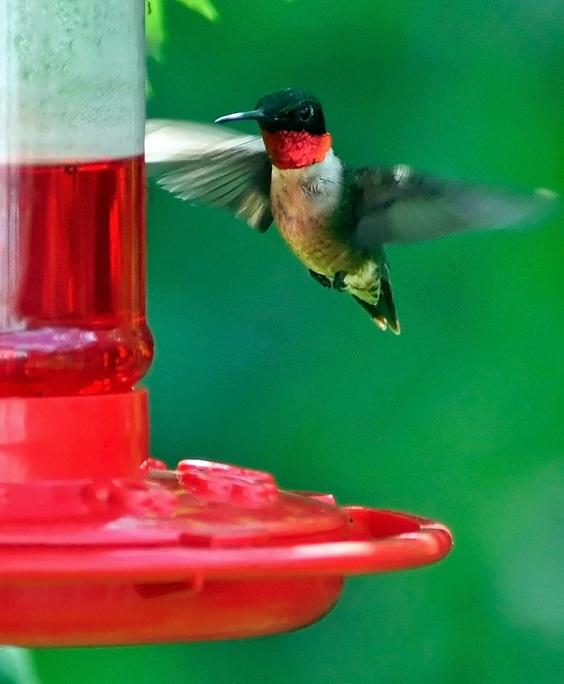 hummingbird+on+feeder+flikr.jpg