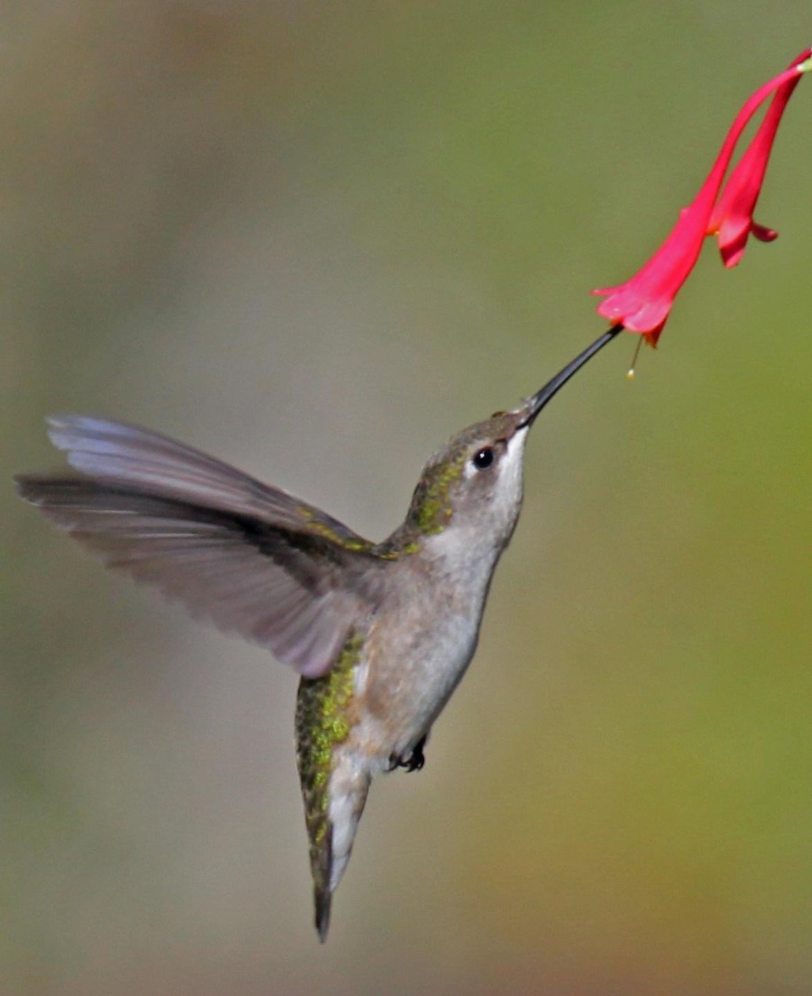 ruby+throated+hummingbird+wiki.jpg