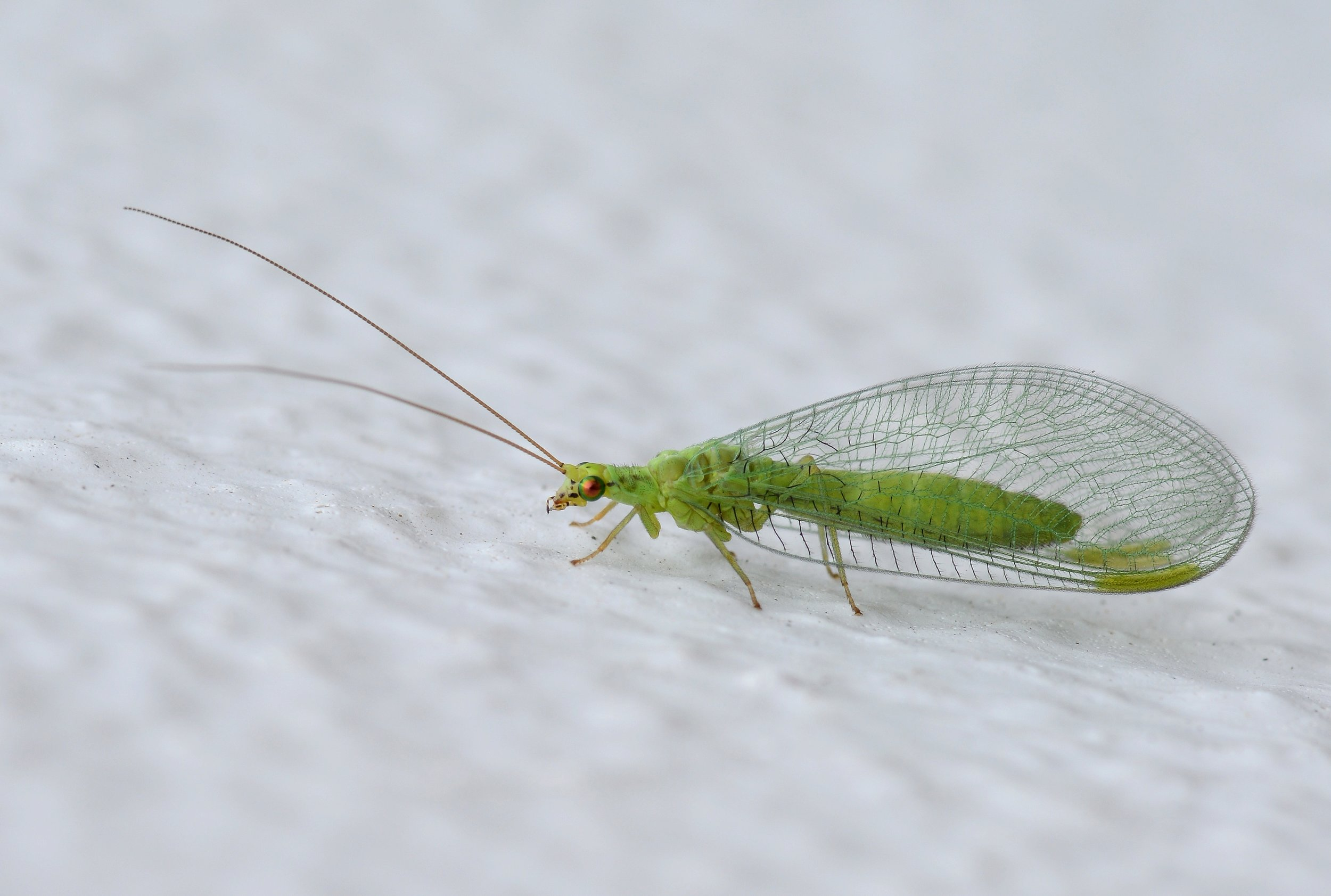 green lacewing wiki.jpg