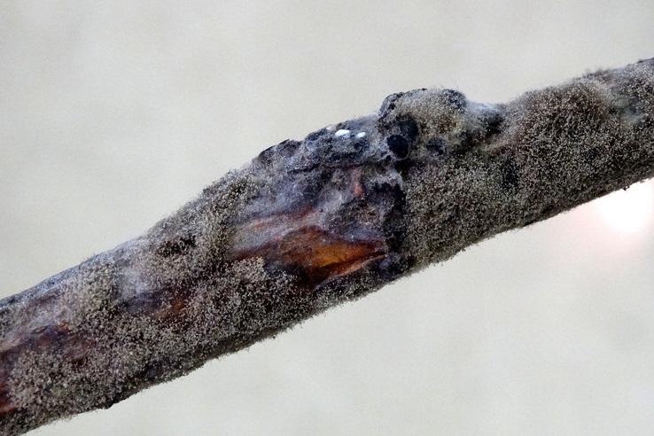 Gray Mold