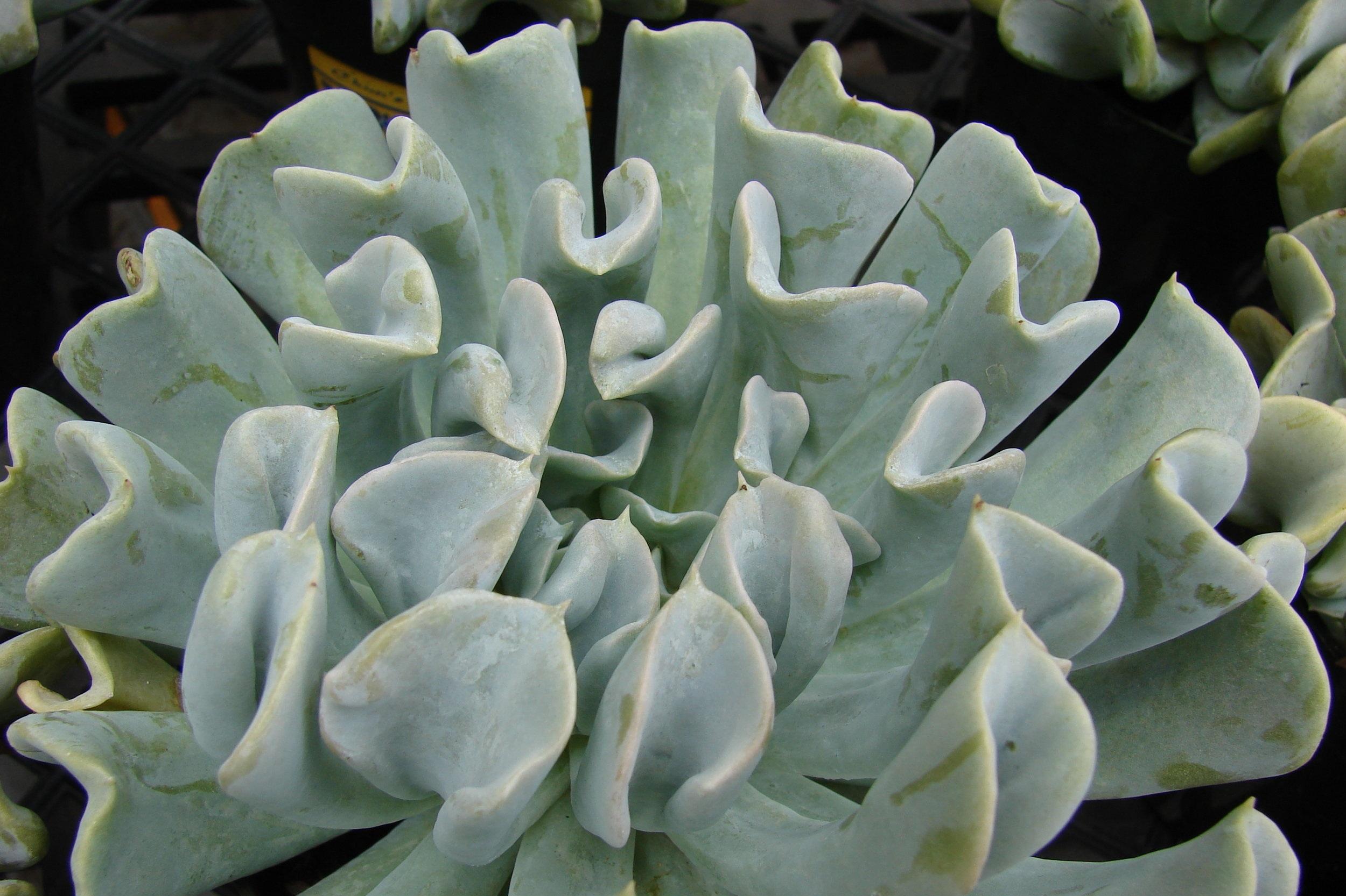 Echevaria 'Topsy Turvy'