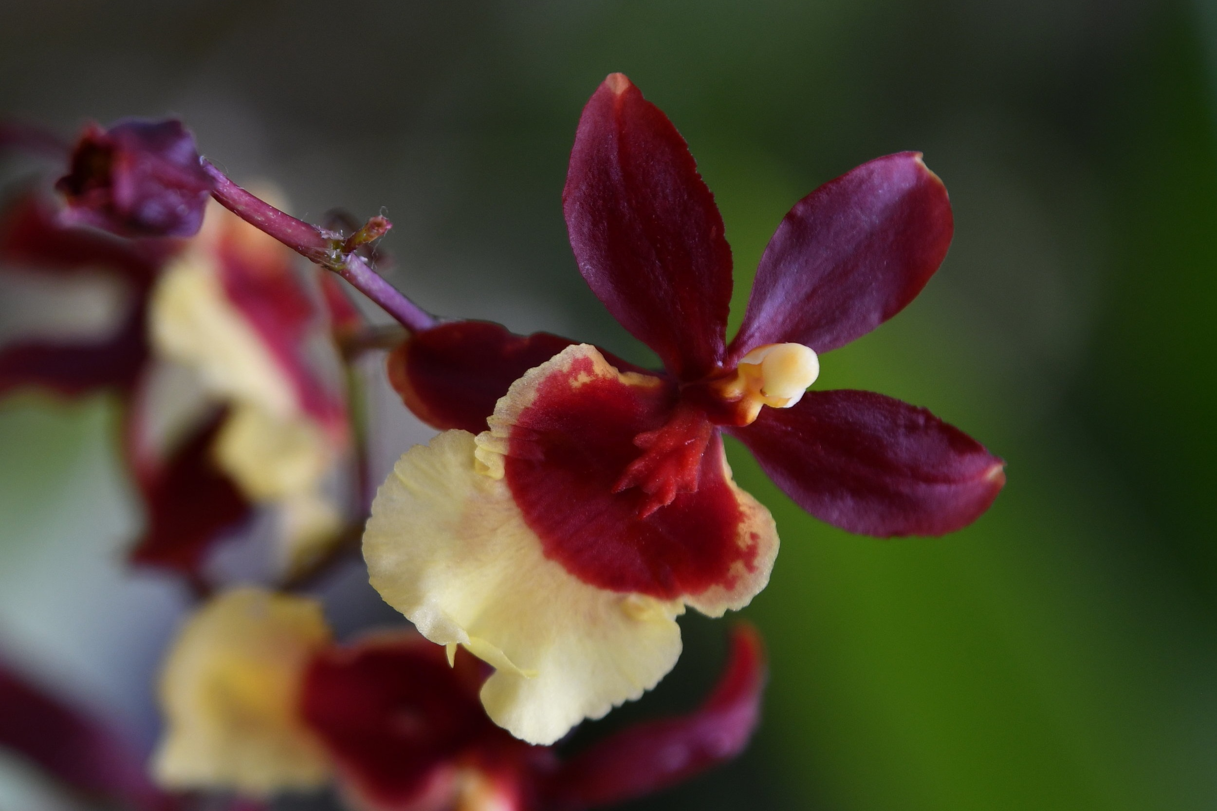 Oncidium - Oncidium come in a plethora of bloom shapes, colors and sizes. Some varieties even have a wonderful fragrance.